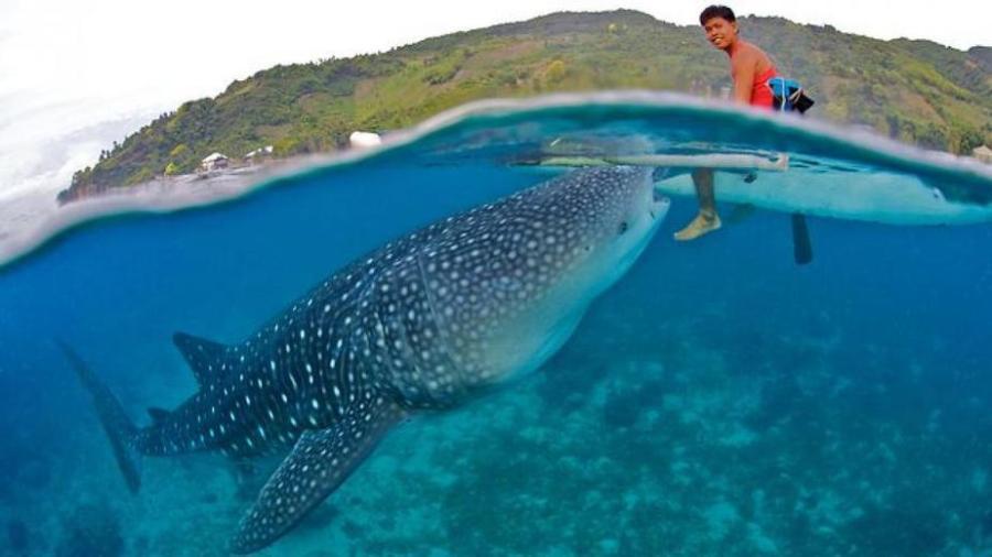 Oslob, Cebu: Whale sharks can live up to 150 years!