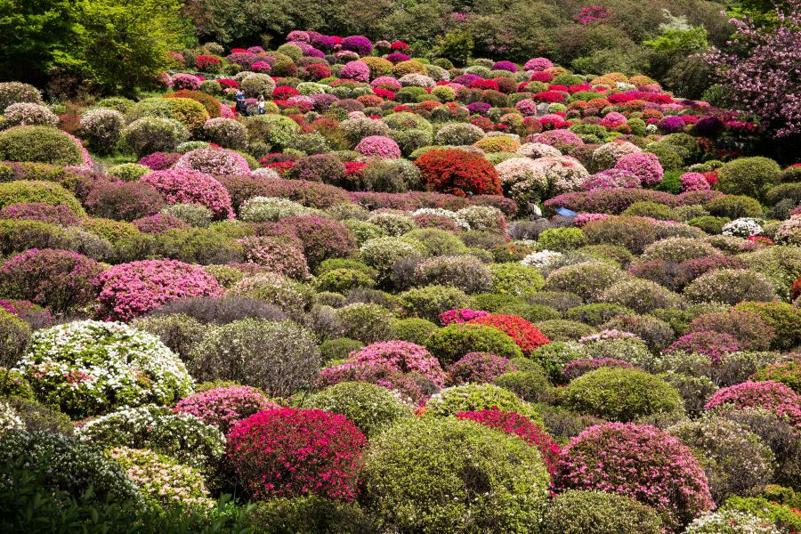 Japan's Most Beautiful Springtime Destinations: Azaleas at Mt. Mifune