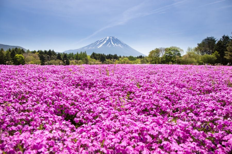 Japan's Most Beautiful Springtime Destinations: Shibazakura Flowers