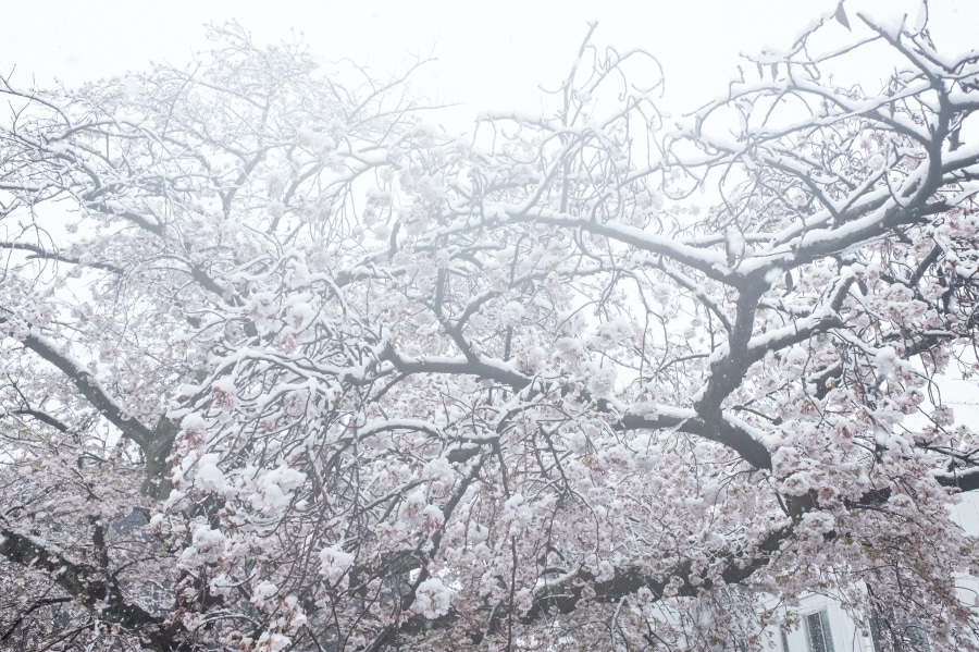 Cherry Blossom Trees with Snow Cover