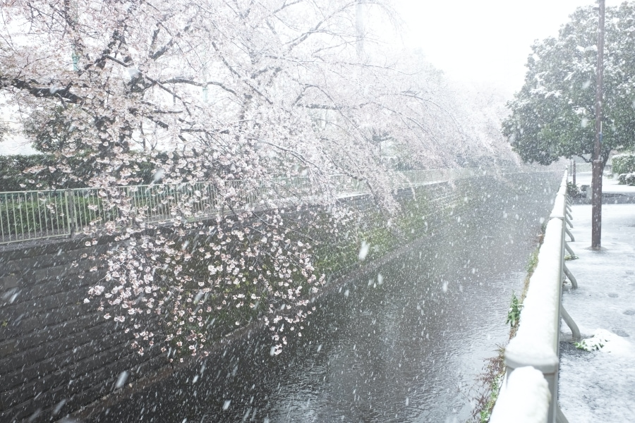 Sakura trees covered with snow