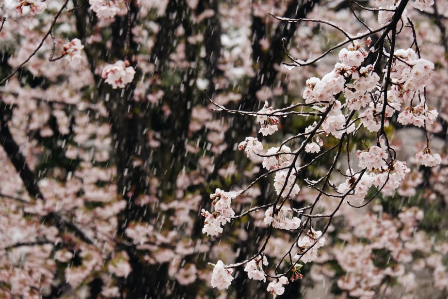 In Pictures: Late Spring Snow Adds Icy Touch To Japan's Sakura Season