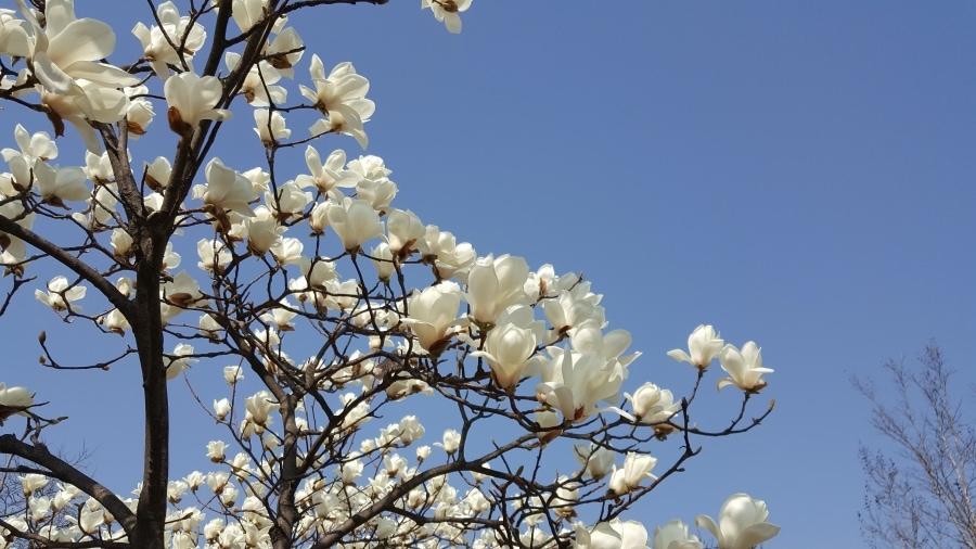 Magnolia Festival In Taean