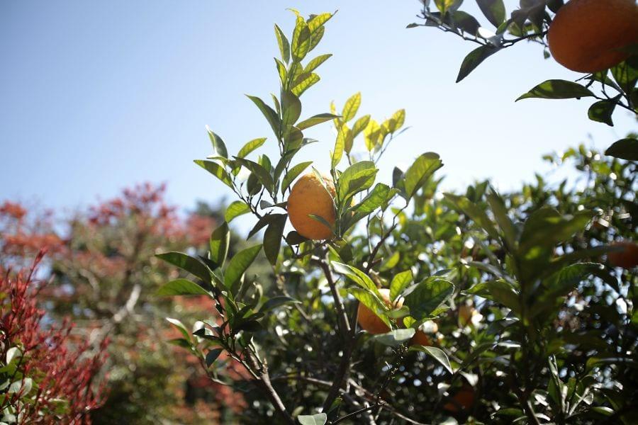 Tangerine Picking in Jeju Island