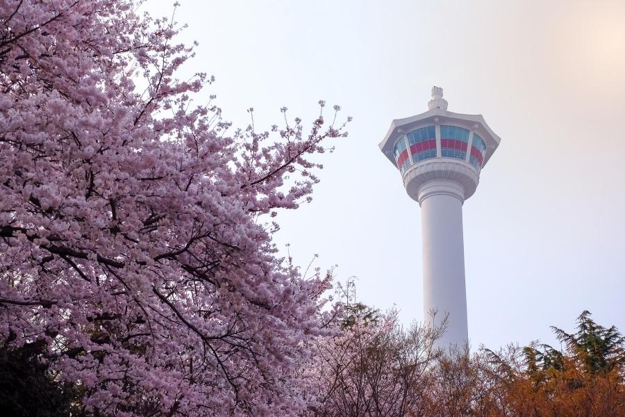 Busan Cherry Blossom