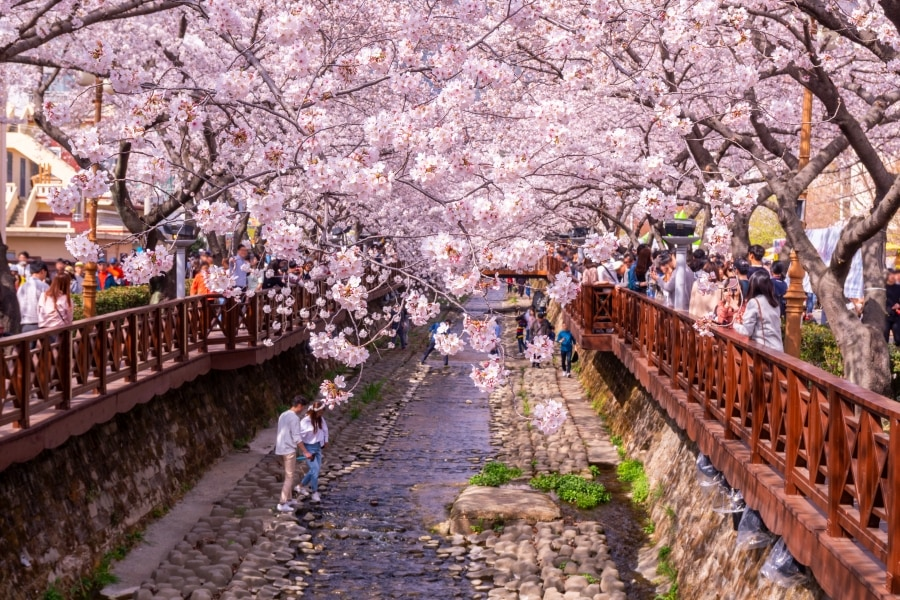 South Korea Cherry Blossom