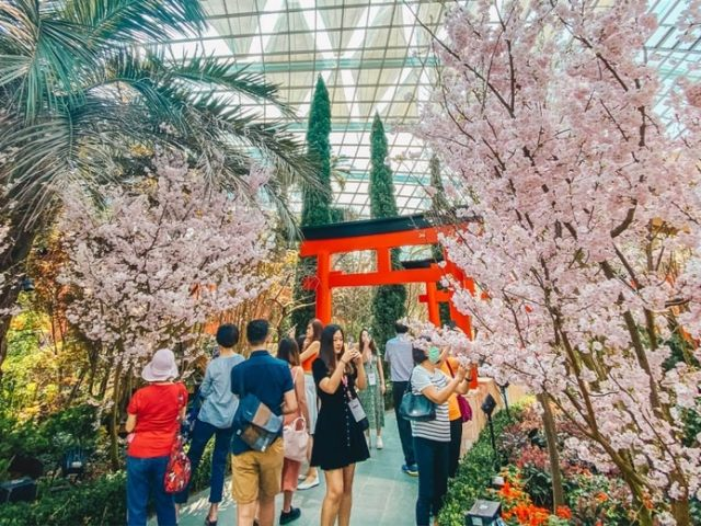 Hanami in Singapore? Witness Cherry Blossoms In Full Bloom As Sakura Matsuri Returns To Gardens By The Bay