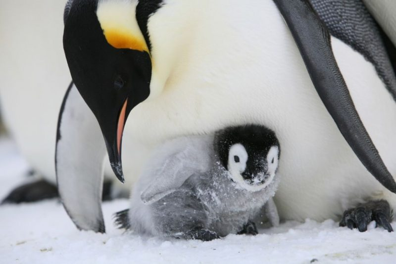 Image result for emperor penguins, photos