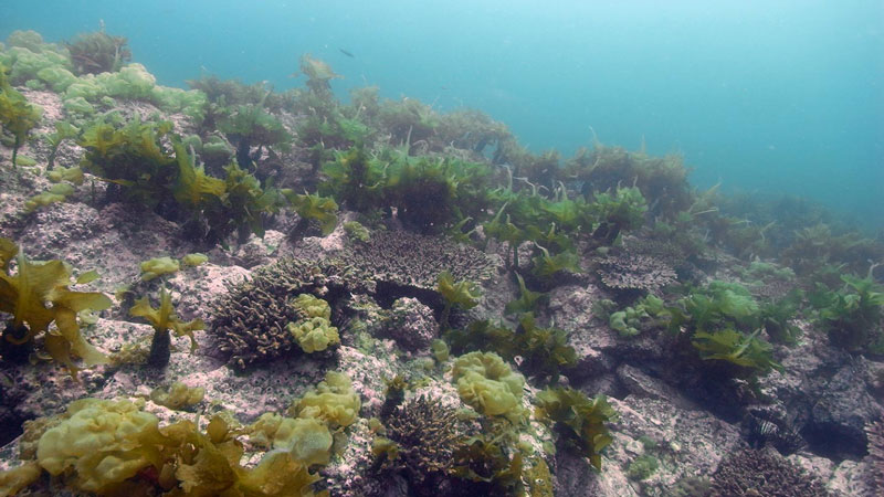 Bunches of green algae and gray coral made up of many little tubes on underwater rocks.