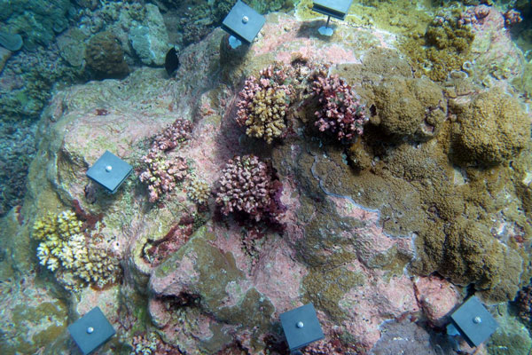 Five small square blue tiles with bolt in center anchored to underwater rock next to pink and green corals.