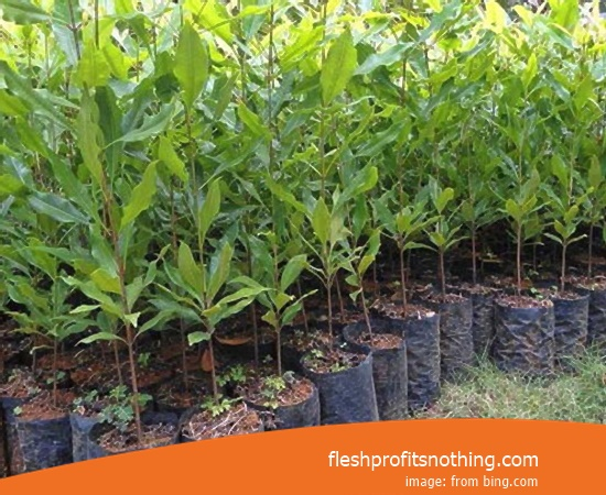 [Update!] Price Of Clove Seedlings Today In Manado