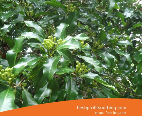 New Varietas Of Latest Clove Seeds In Makassar