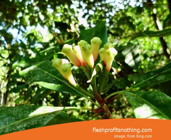 Location Plantation Of Zanzibar Clove Flower