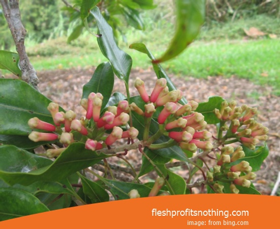 Location Plantation Of Natuna Clove Flower