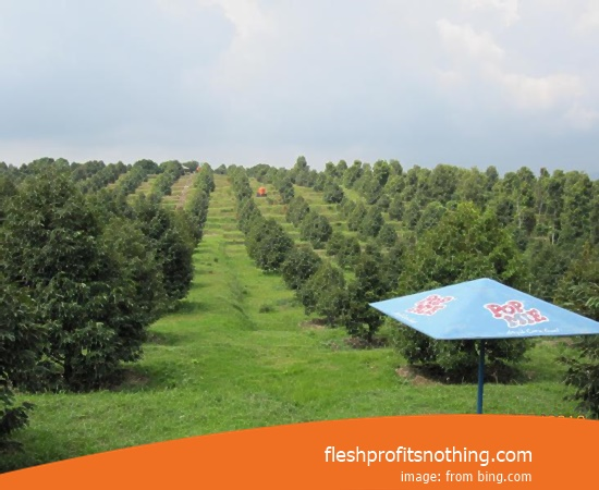 Location Plantation Of Clove Flower Of Kediri