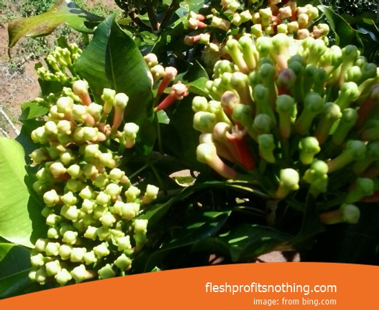 Location Farm Agro Tourism Of ACEH Clove Flower