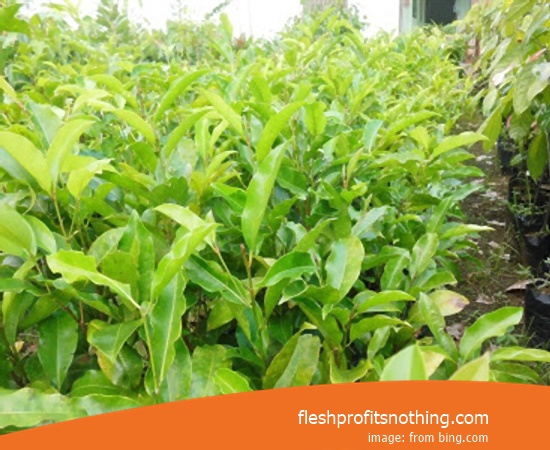 New Varietas Of International Clove Seedlings