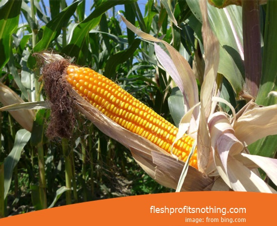 Price of Corn Seeds Non Gmo Organic