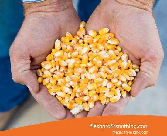New Varieties of Corn Seeds Monsanto