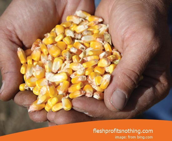 New Varieties of Corn Seed 626