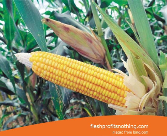 Price Sell of jerusalem Corn Seeds