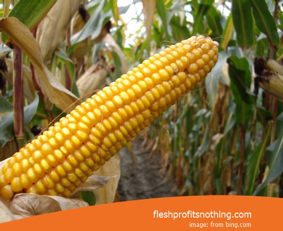 New Varieties of Corn Seeds Unturne