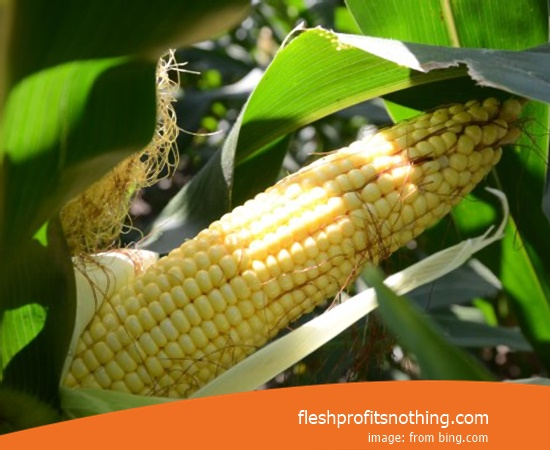 Cost Buy of Corn Seedlings Tongkol 2 Latest