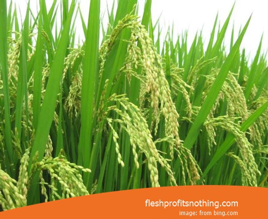 New Varieties Of Seed Rice Giant Inpari 8 Height 2 meters