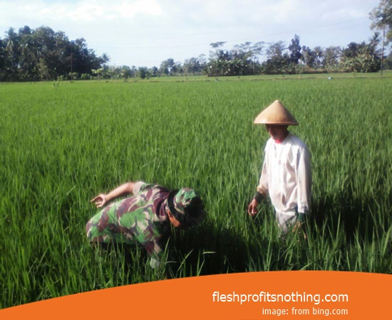 Type Of Seedlings Rice Fields Inpari 42 Gsr 3 Month Harvest