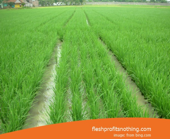 New Varieties Of Seed Rice Kemuning 309 Super