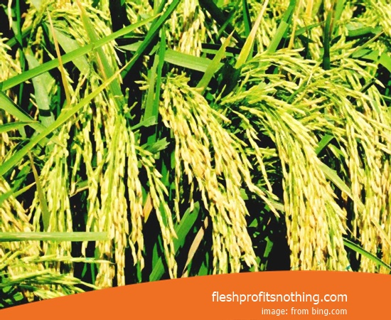 Type Of Seedlings Rice Long Panicle 307 Old age