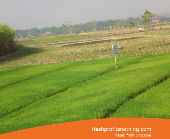 Price Seedlings Rice Of Zr 07 Height 2 meters