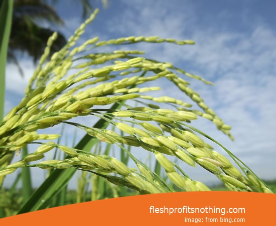 New Varieties Of Seedlings Rice F16 999 Tasty