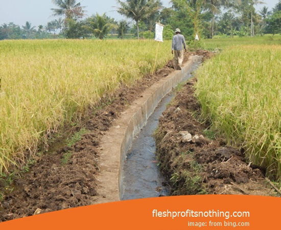Price Seedlings Rice Of Whiskers 999 Most Fast Harvest