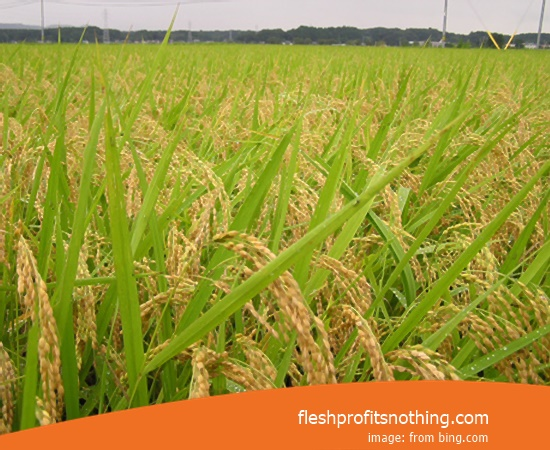 New Varieties Of Seedlings Rice Japan Cibatu 3 Month Harvest