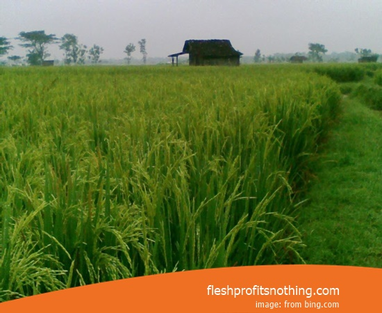 Type Of Seedlings Rice Fields Basmati 2 Month Harvest