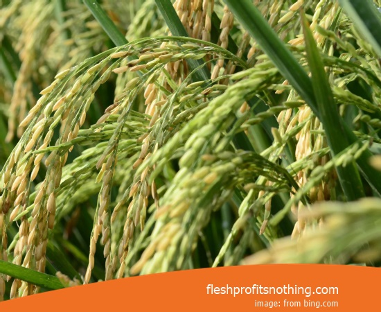 Price Seed Rice Of Tropiko Bawor 9 Per Kg