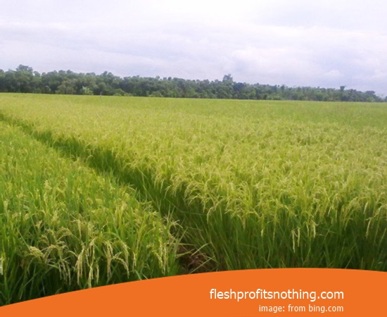 Price Seed Rice Of Sembada 989 Red Rice Height 2 meters