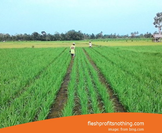 Type Of Seed Rice Purple Label Effective 292 100 Harvest Day