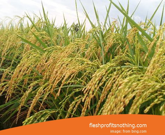 New Varieties Of Seed Rice Cob 2 Bramo No. 1