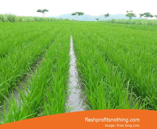 Price Seedlings Rice Of Genjah Trisakti Inpari 79 Old age
