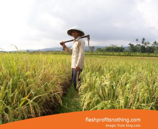 Type Of Seedlings Rice F8 Ciherang B400 2 Month Harvest