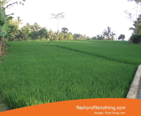 New Varieties Of Seedlings Rice Sembada 626 Inpari 32 3 Month Harvest