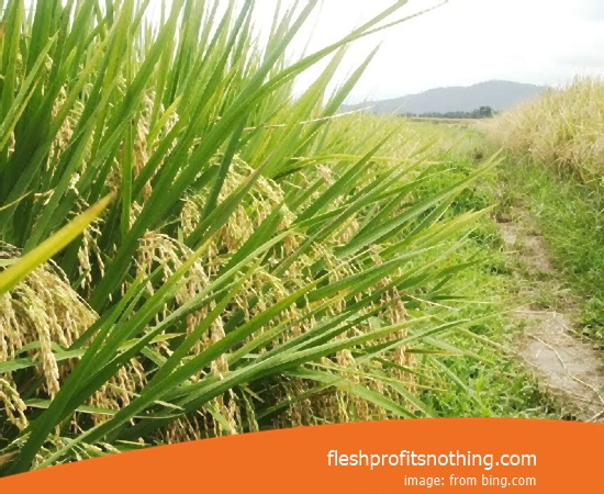 Type Of Seed Rice Giant 64 Boyolali Most Fast Harvest