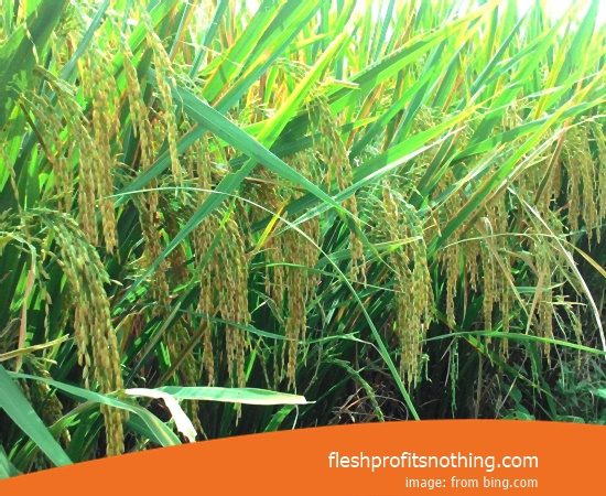New Varieties Of Seedlings Rice Kalina Janger Height 2 meters