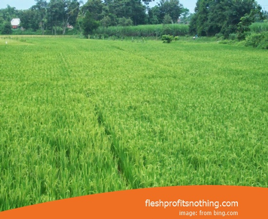 New Varieties Of Seedlings Rice Legowo 05 Height 2 meters