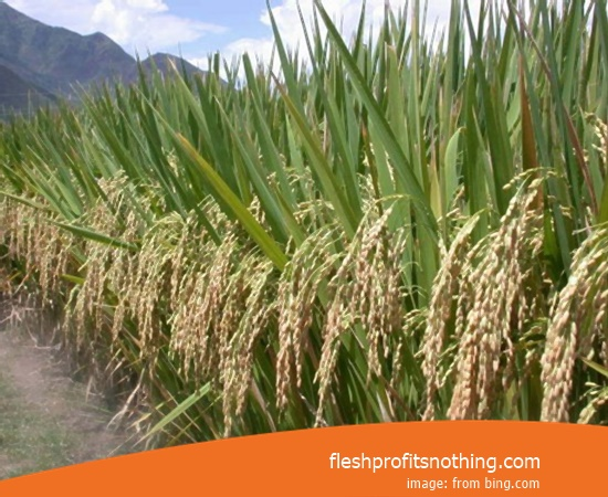 Type Of Seed Rice F1 From Aceh Most Excellent