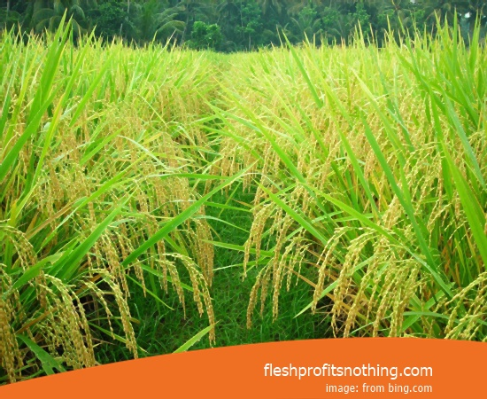 Price Seed Rice Of Fields Bagendit 3 Month Harvest