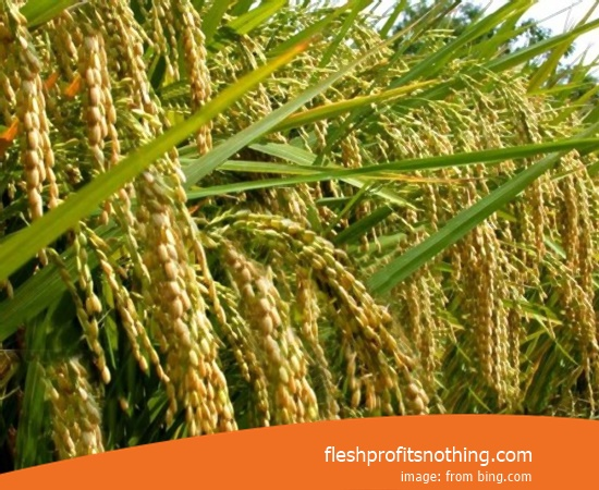 Price Seed Rice Of Fragrant InPari 9 Japonica 70 Harvest Day