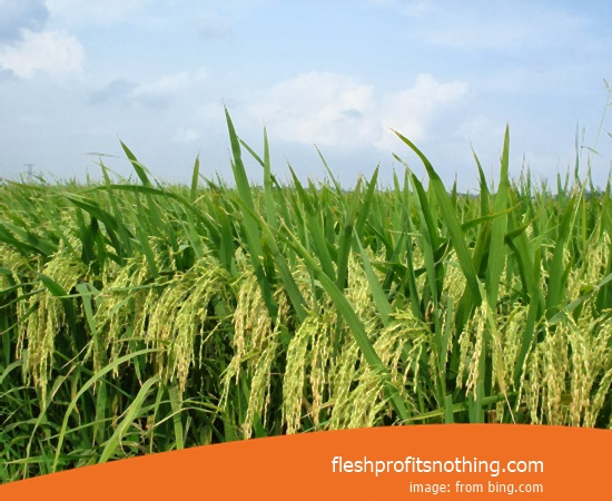 New Varieties Of Seedlings Rice Ratun R5 88 70 Harvest Day